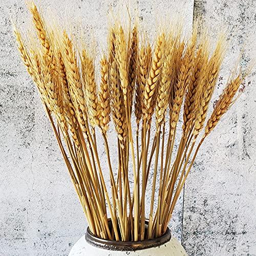 Beau Jour 100 poleas de trigo seco natural para arreglos florales DIY...
