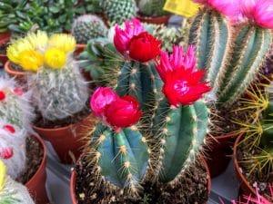 ¿Cómo plantar y cuidar un cactus?