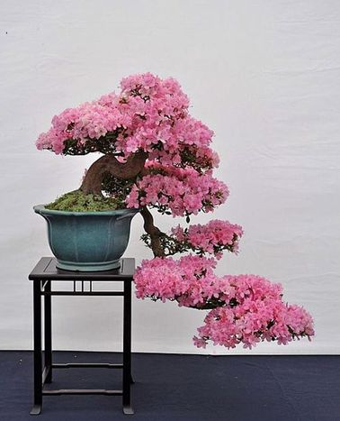 Un jardín zen puede albergar todo tipo de esencias florales que aporten color y alegría.  Este bonsái de azalea llevó años de trabajo, ¡pero qué belleza!